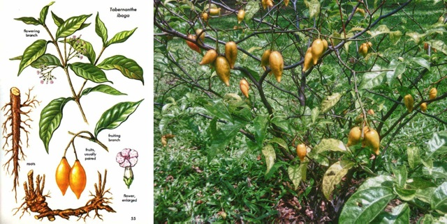iboga-plant-illustration-and-iboga-plant-growing