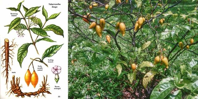 iboga-plant-illustration-and-iboga-plant-growing